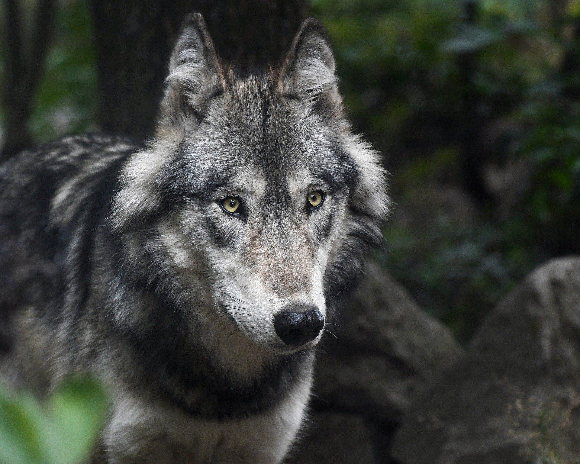 Der Wolf im Kulturraum Schwarzwald